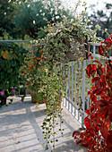 Plectranthus coleoides (Weihrauch, Mottenkönig)