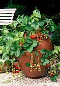 Erdbeere 'Elsanta' (Fragaria) in Erdbeertopf