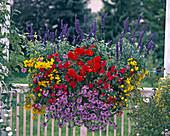 Salvia FARINACEA 'Viktoria', BEGONIA (KNOLLENBEGONIE) 'nonstop