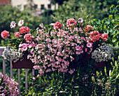3 Pel-ZON.-HYBR.'Schöne Helene',2 Osteospermum 'Rosa