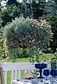 SANTOLINA chamaecyparissus,AJUGA REPTANS 'Burgundy'