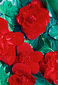 BEGONIA Komplementärfarben Rot-Grün