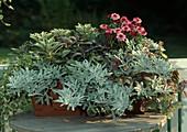 Artemisia Splendens, AJANIA pacifica 'Silver 'N Gold', Salvia 'PURPURASCENS', De