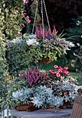Artemisia Splendens, LAMIASTRUM, Salvia, HEDERA, AJANIA pacifica