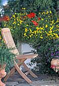 BIDENS ferulifolia 'Goldmarie'