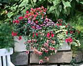TERRAPONIC-System: Fuchsia 'Beacon' 'Gesäuseperle'