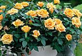 Minirosen Orange 'Amber Kordana'