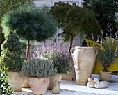 PICEA (Fichte), PINUS (Kiefer) als STÄMMCHEN, SANTOLINA, Nepeta, Acer japonicum,