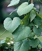 ARISTOLOCHIA durior
