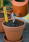 Calla - Knollen im Frühjahr antreiben