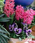 Hyacinthus orientalis 'Amsterdam',
