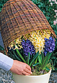 Vorgetriebene Frühlingsblumen (hier Hyazinthen)