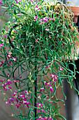 Matthiola bicornis / Nachtviole