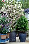 Frühlings-Arrangement mit Zierkirsche 'Kojou-no-mai', Zuckerhutfichte, Hornveilchen