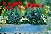 Tulipa 'Couleur Cardinal', Narcissus 'Tete a Tete',