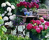 Terrasse mit Hydrangea macrophylla 'Amsterdam' (auf dem
