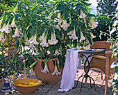 Datura arborea / Engelstrompete, 'Sommertraum'