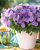 Campanula carpatica 'Blue Ball' gefüllte Blüten