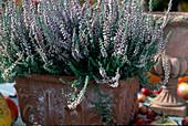 Calluna vulgaris 'Silver Knight' (Besenheide)