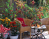 Beerenschmuck auf der Terrasse: Pyracantha coccinea / Feuerdorn, Euonymus alata