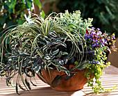 Herbstzauberstauden, Carex hachijoensis / Segge, Salvia, Ajania pacifica, Ajuga re