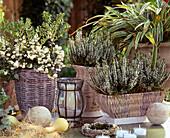 Pernettya mucronata (Torfmyrte), Calluna vulgaris 'Alice', Carex
