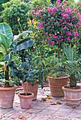 Wärmeliebende Kübelpflanzen frühzeitig (Anfang Oktober)