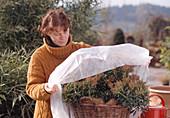 Winterschutz für Pieris japonica 5.Step: Mit Vlies abdecken