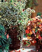 Euonymus fortunei 'Emerald Gaiety', Geranium x cantabrigiense 'Berggarten'