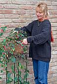 Abutilon megapotamicum im Herbst zurückschneiden