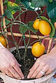 Citrus umtopfen, 5. Step