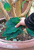 Abgefallene Blätter aus dem Topf nehmen