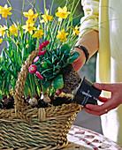 Korb mit Frühlingszwiebeln bepflanzen