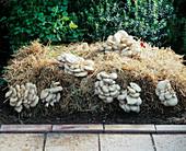 Austernpilze auf Stroh gezogen