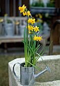 Narcissus 'Tete a Tete' in kleiner Blechgießkanne