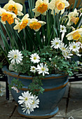 Narcissus Hybr. 'Salome', rechts:'Pink Peach', links:Anemone