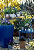 Frühlingsarrangement: Aquilegia flabellata