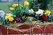 Muscari, Ranunculus, Tulipa , Bellis, Myosotis,