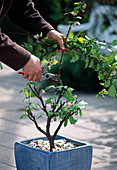 Prunus triloba / Mandelbäumchen Nach der Blüte stark zurückschneiden
