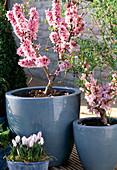 Prunus persica 'Crimson var. Bonfire', 'Amber var. Pixzee'