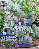 Silber-blaue Gestaltung: Senecio,Olea europaea, Salvia