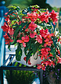 Begonia - Knollenbegonie-Hybr. 'Nonstop Lachsrosa'