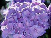 Hydrangea macrophylla hellblau 'Adria' (Hortensie)