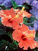 Hibiscus rosa-sinensis 'Cairo' (Roseneibisch)