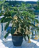 Brugmansia 'Maya' - weißbuntes Laub