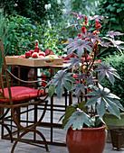 Ricinus communis 'Apache'