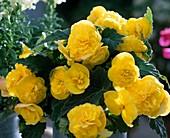 Begonia 'Non-Stop-Gelb'