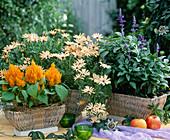 Celosia argentea 'Kimono Yellow', Osteospermum 'Peach