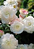 Begonia Tuberhybrida 'Apfelblüte' (Knollenbegonie)