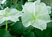 Ipomoea alba (Mondwinde) öffnet ihre Blüten ab 19.00 Uhr und